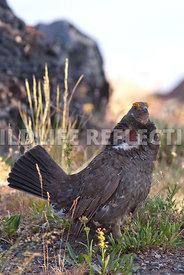 blue_grouse_standing_tall