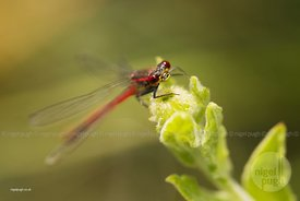 Large Red Damselfly - Pyrrhosoma nymphula: