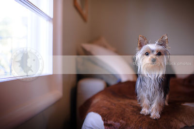 cute small yorkie dog standing by window on sofa at home indoors