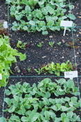 Square foot salad plots in the kitchen garden demonstrating how a variety of edible plants can be grown in the smallest garde...