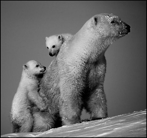 Two polar bear cubs closed to their mother in Baffin Island Canada 2016 © Laurent Baheux