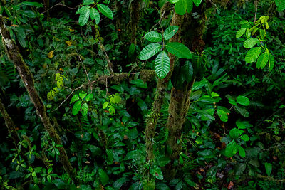 Vegetation in the Choco Rainforest, Mashpi, Pichincha, Ecuador, November 2016.