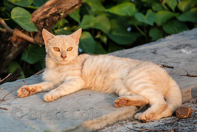 A beautiful golden cat in the fishing village of Worli, Mumbai, India.