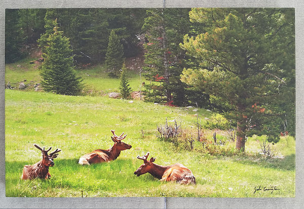 Rocky Mountain Elk 16x24 and 20x30