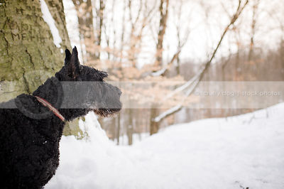 black giant schnauzer in winter setting with trees