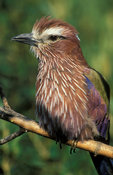 Rufous-crowned roller (purple roller), Coracias naevia, South Africa