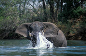 African elephant in the Lunga river, Loxodonta africana, Kafue National Park, Zambia