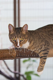 Tabby Cat Portrait on Bamboo Perch