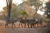 Common waterbuck herd (Kobus ellipsiprymnus ellipsiprymnus), Liwonde National Park, Malawi