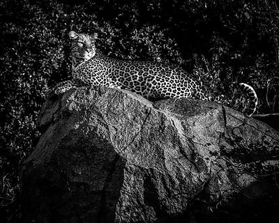 01911-Leopard_Laurent_Baheux