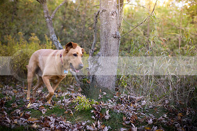 red hound dog with ear walking in autumn setting