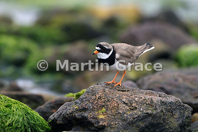 Common Ringed Plover (Charadrius hiaticula) on the foreshore at Tangwick, Northmavine, Shetland