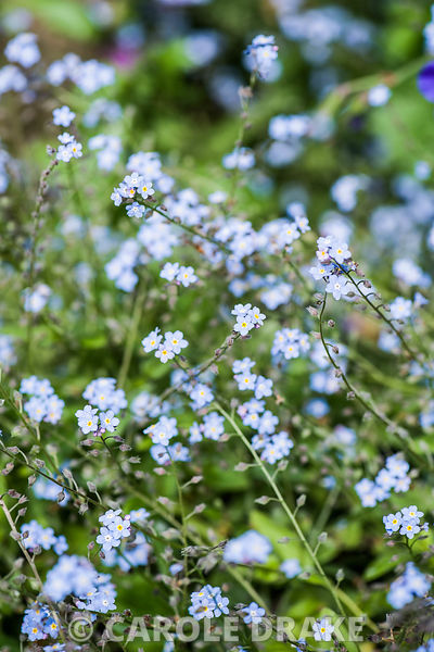 Forget-me-nots.