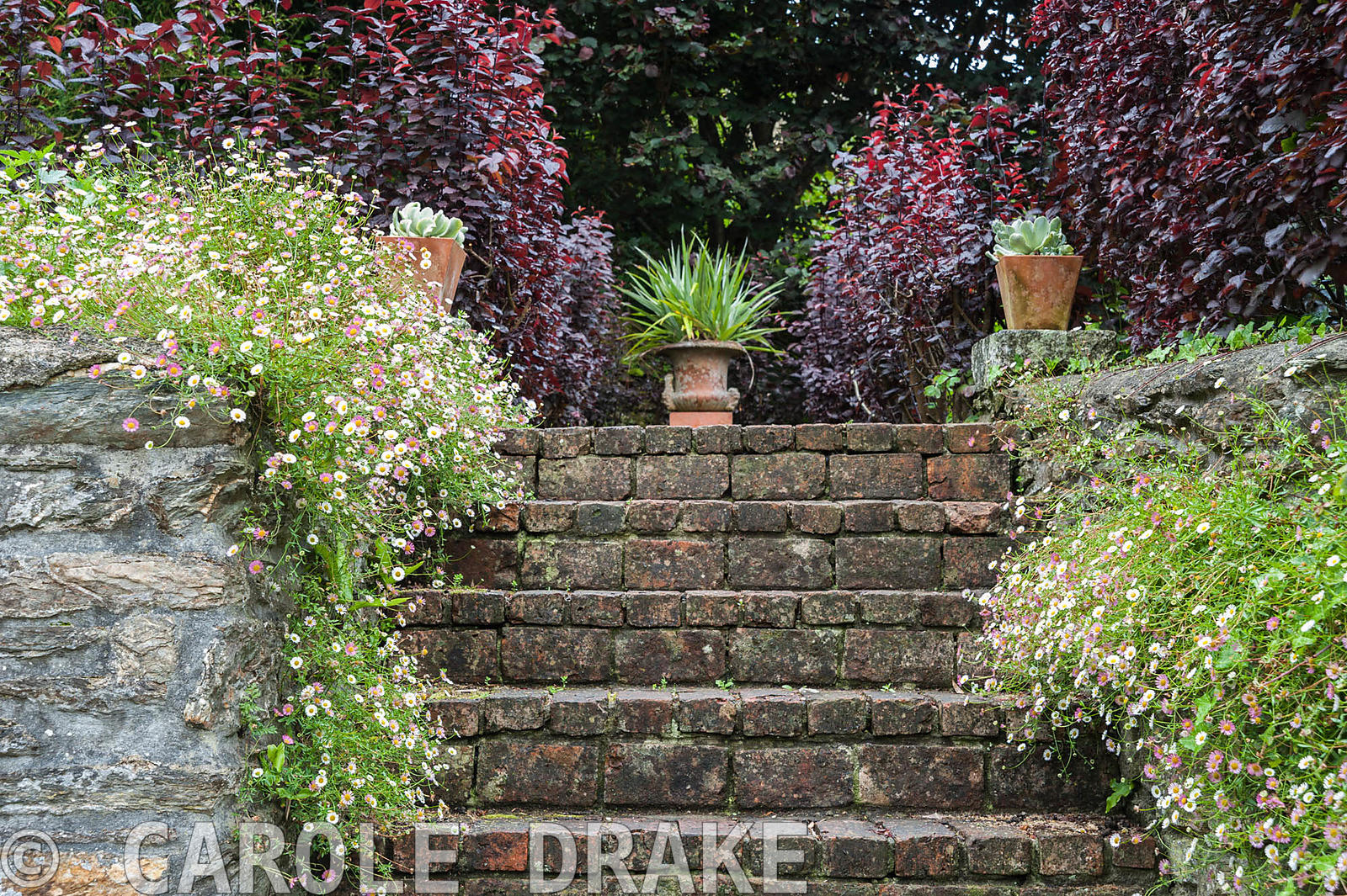 Steps are framed by self seeded Mexican daisies, Erigeron karvinskianus, and potted succulents, with astelia in urn above. Bo...
