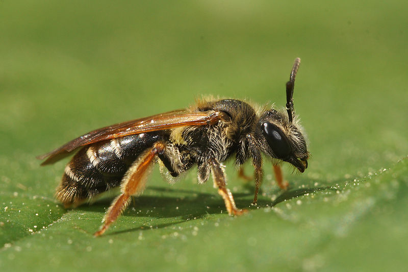 Andrena chrysoceles, female at Aalterbrug