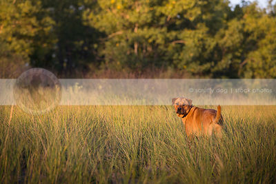 red mixed breed dog from behind looking back in natural grasses
