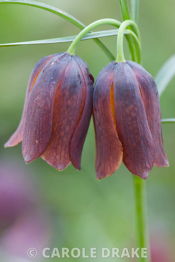Fritillaria pyrenaica. Broadleigh Bulbs, Taunton, Somerset, UK, March 2008