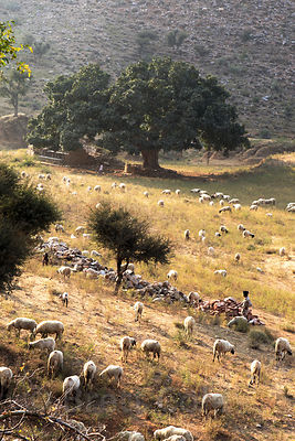 Sheep herders graze their animals in the desert near Kharekhari village, Rajasthan, India. In the distance is a massive ancie...