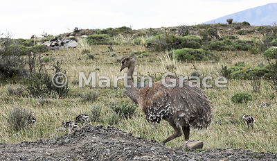 Lesser (Darwin's) Rhea (Pterocnemia pennata) male with chicks, Patagonia, Region XII Magallanes y Antartica chilena, Chile