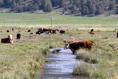 Cow walking in a waterway on a farm next to Indian Tom Lake, on the border of the Lower Klamath NWR, California
