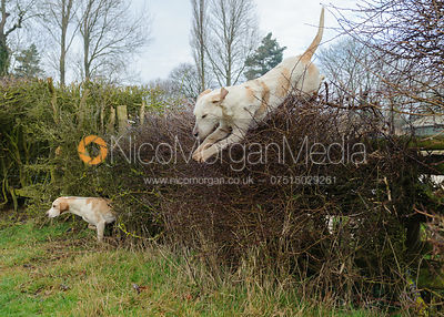 Hounds jumping the first hedge
