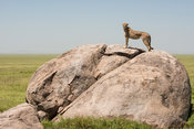 Cheetah standing on a rock (Acinonyx jubatus), Serengeti National Park, Tanzania