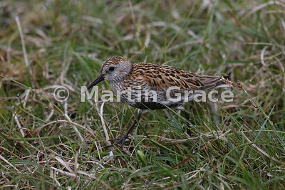Dunlin (Calidris alpina) walking through grass, Hermaness National Nature Reserve, Unst, Shetland