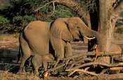 Desert elephant with young, Loxodonta africana, feeding from the bark of a tree, Damaraland, Namibia