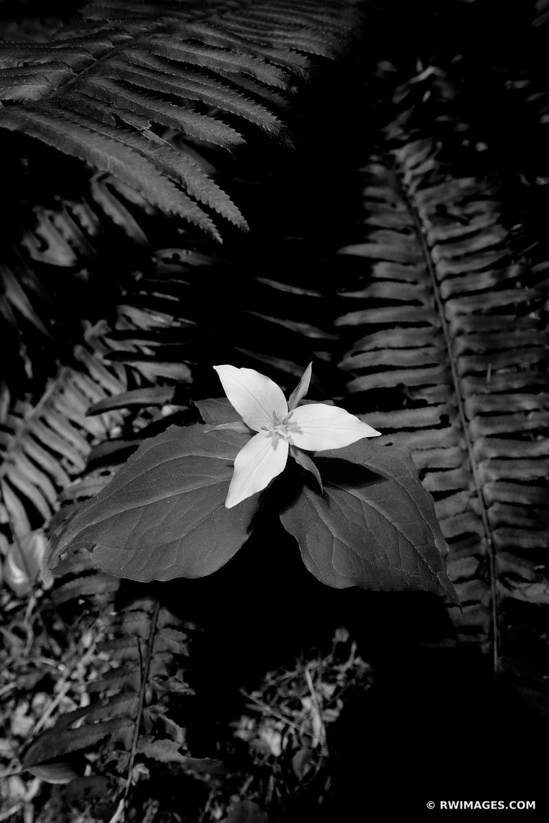 TRILLIUM WILDFLOWER PACIFIC NORTHWEST FOREST OLYMPIC NATIONAL PARK WASHINGTON BLACK AND WHITE VERTICAL