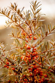 Sea buckthorn bush