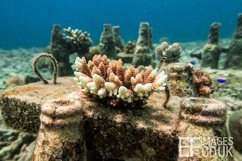A fragment of coral, shattered by bomb fishing, is beginning to re-establish itself and grow, having been stabilised in a con...
