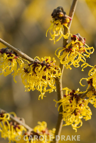 Hamamelis x intermedia 'Early Bird'. Sir Harold Hillier Gardens/Hampshire County Council, Romsey, Hants, UK