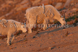 mountain_goats_foraging_at_twilight