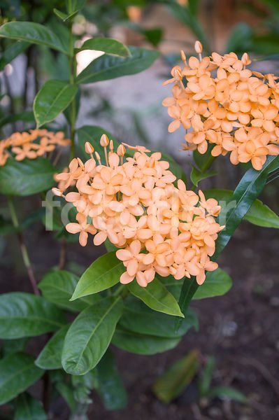 Ixora Chinensis, ixora, orange
