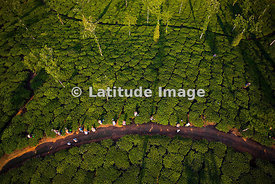 Tea Plantation, Kalpetta