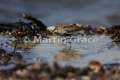 Dunlin (Calidris alpina) on the shoreline, Bigton Wick, Mainland South, Shetland