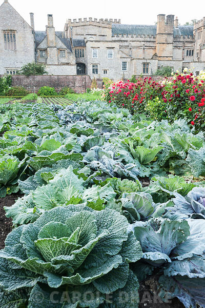 Kitchen garden with colourful rows of cabbages and dahlias with backdrop of historic Forde Abbey, nr Chard, Dorset, UK