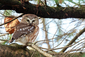 October - Northern Saw-whet Owl
