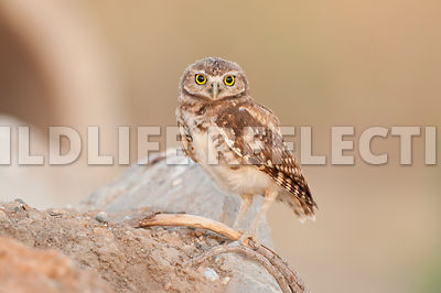 burrowing_owl_pale_rock_5