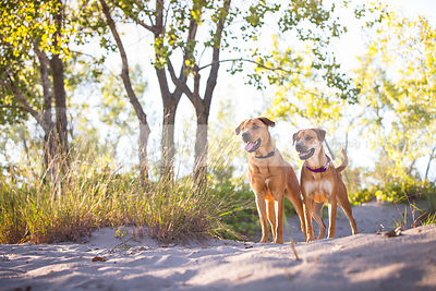 two alert dogs standing together on sand dune with sunshine