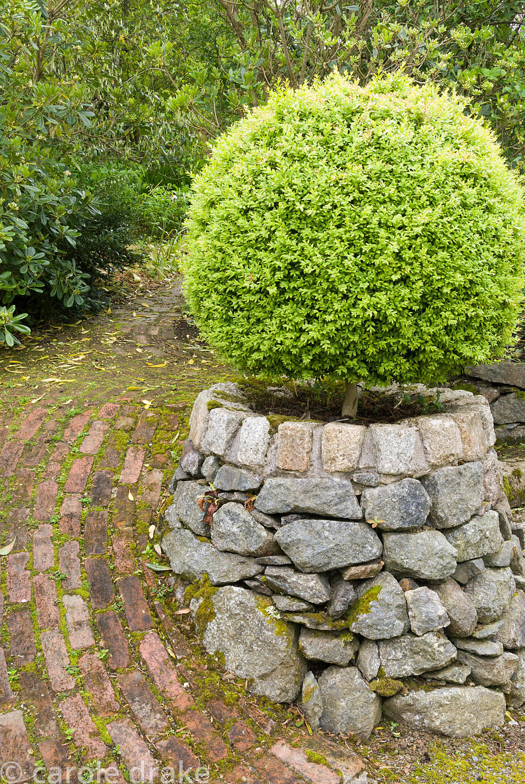 Static stone container with clipped box frames brick path into Tiara garden. Caervallack Farm, St Martin, Helston, Cornwall, UK