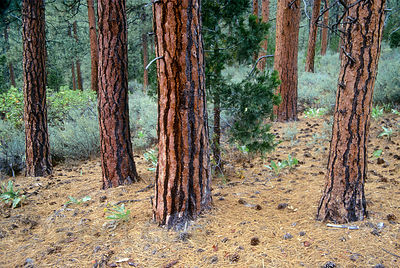 Native Ponderosa Pine forest along the Metolious River, Eastern Oregon Cascades.