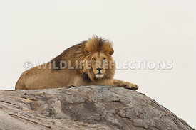 lion_male_rock_top_1