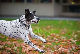 Dalmatian Mix Dog Running Over Leaves