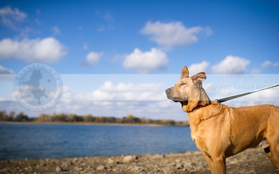 handsome tan cross breed dog standing on lake shore with sky and clouds