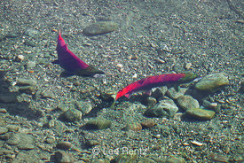 Courtship of Sockeye Salmon along Adams River