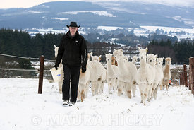 Joe Phelan of K2 Alpaca taking his animals into shelter during Storm Emma.