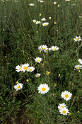White chrysanthemum daisy, Tanacetum cinerariaefolium, for the production of insecticide, Musanze, Rwanda