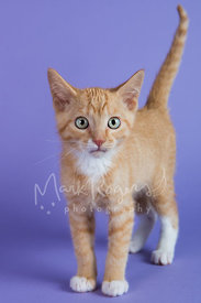 Orange and White Tabby Kitten  on Purple Background