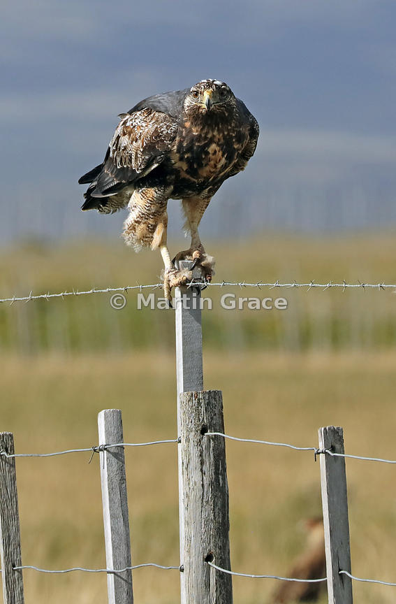 Juvenile Black-Chested Buzzard-Eagle (Geranoaetus melanoleucus) standing on a fence post, Patagonia, Chile